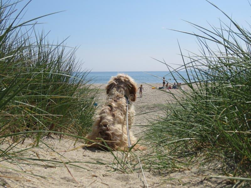 CCurious观看在沙丘的狗海滩 图库摄影