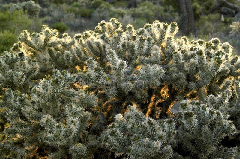 Ce buisson tr?s ?pineux de cactus est ?clair? ? contre-jour par le coucher du soleil donnant une lueur surnaturelle autour de ses images stock