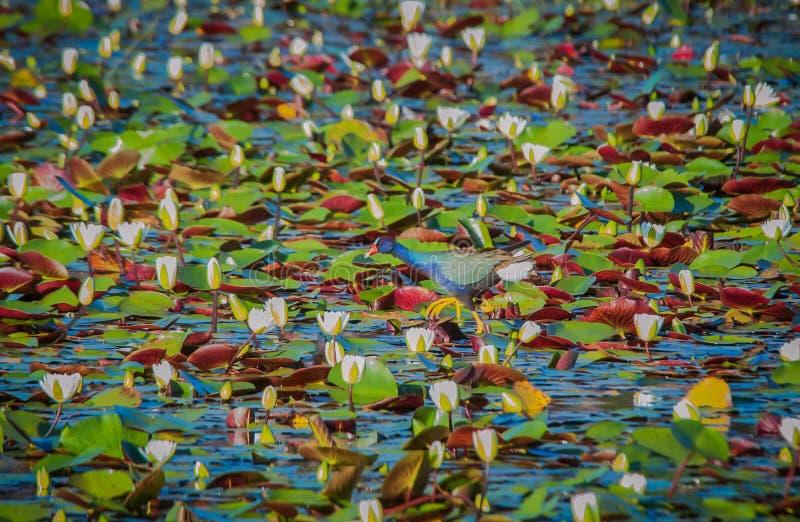 Gallinule pourpre se mélange dedans avec le marais photo stock