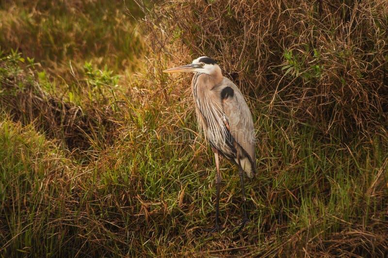 Héron de grand bleu dans le marais de la Louisiane photo stock