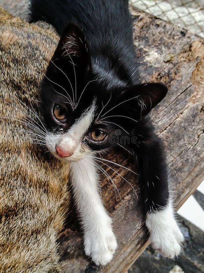 Ce qui est peu commun pour un petit chat est regardé fixement dans la merveille images libres de droits