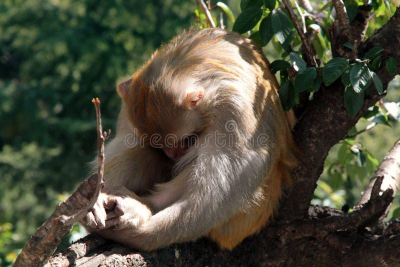 Ce rhésus de macaque tourné à partir de la lentille photographie stock libre de droits