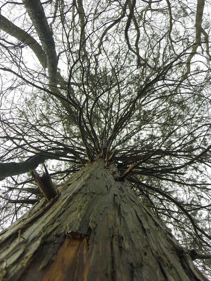 Ceaderboom stock fotografie
