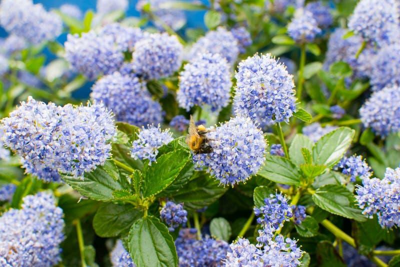 Ceanothus com abelha - lilás de Califórnia foto de stock