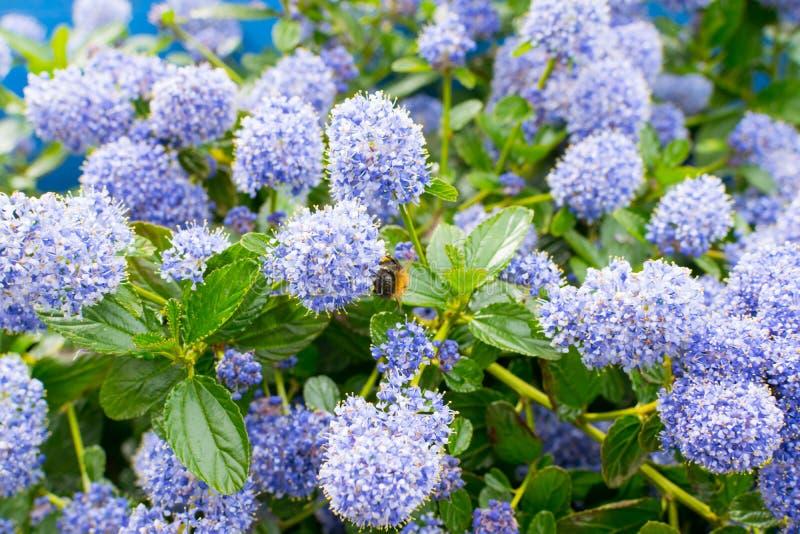 Ceanothus com abelhas - lilás de Califórnia fotografia de stock royalty free