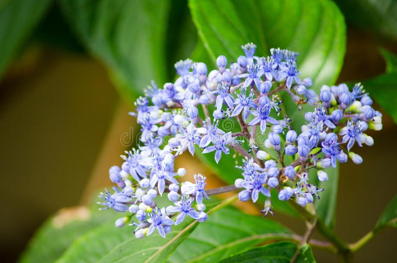 Ceanothus impressus `Victoria` blueblos flower in a spring season at a botanical garden. A Ceanothus impressus `Victoria` blueblos flower in a spring season at stock images