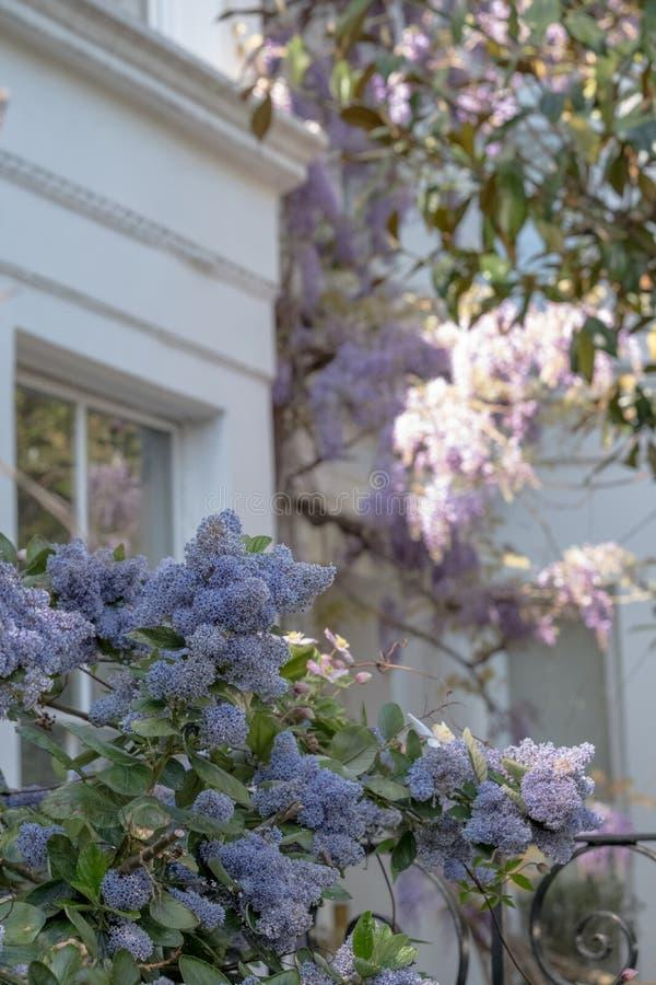 Ceanothus met blauwe bloemen in voorgrond Erachter is wisteriaboom in volledige bloei het groeien buiten een wit geschilderd huis stock foto's