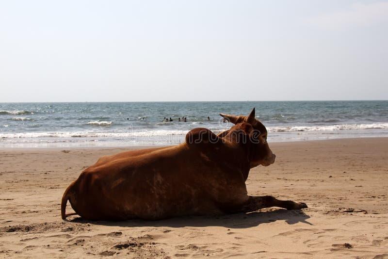 Cebú de la vaca en la playa fotos de archivo