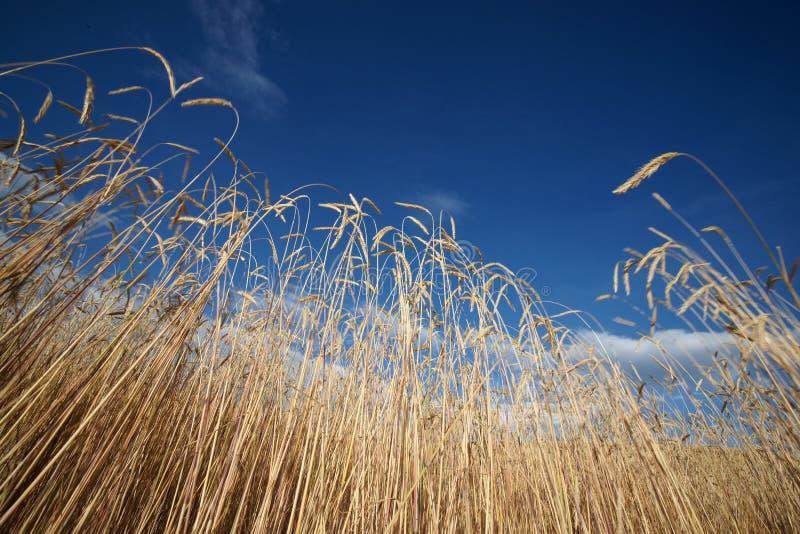 Cebada de la montaña con el cielo azul fotografía de archivo libre de regalías