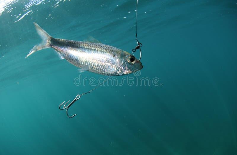 Cebo de los pescados de la sardina en el gancho de leva imagen de archivo libre de regalías