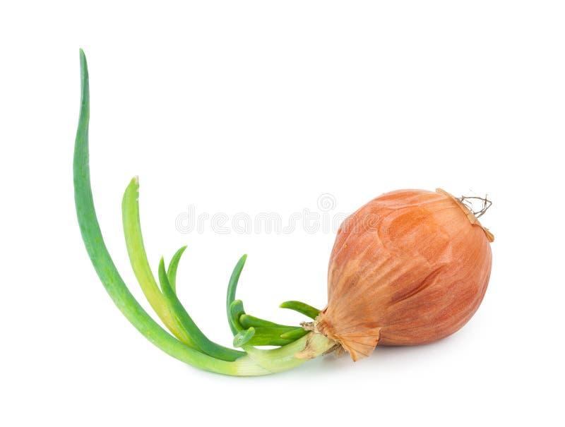 Cebola com o sprout verde fresco fotos de stock royalty free