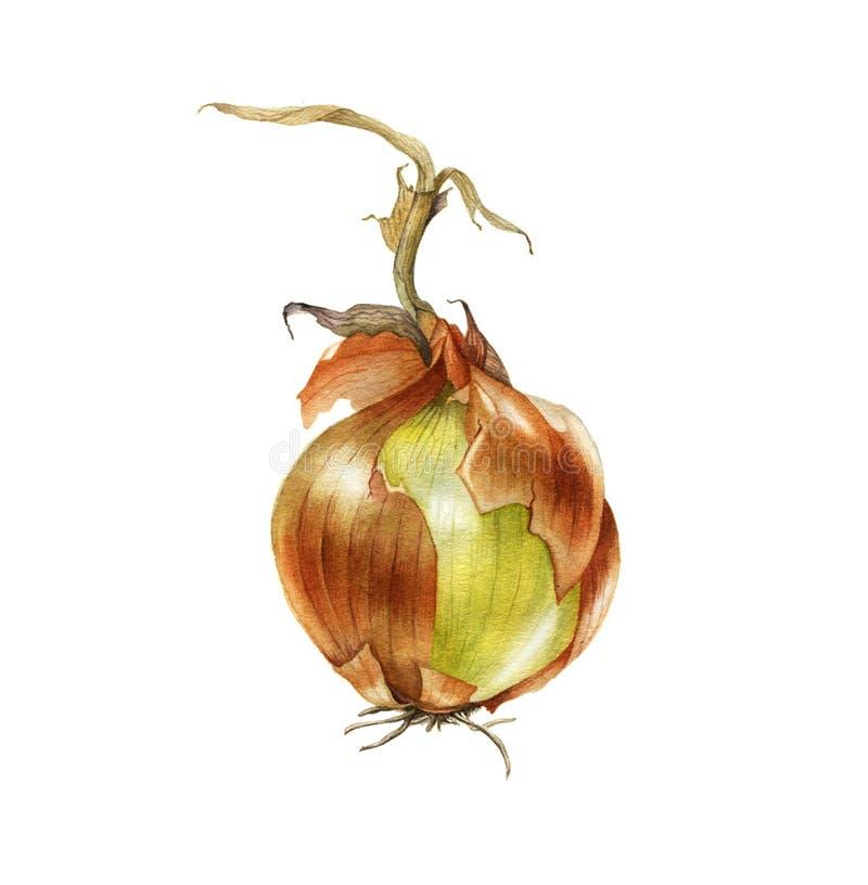 Cebola da aquarela Ilustração botânica tirada mão ilustração royalty free