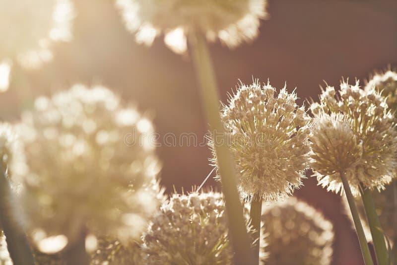 Cebola de florescência fotos de stock royalty free
