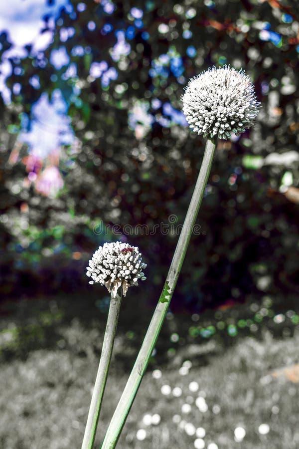 Cebola de florescência no jardim durante o dia de verão foto de stock