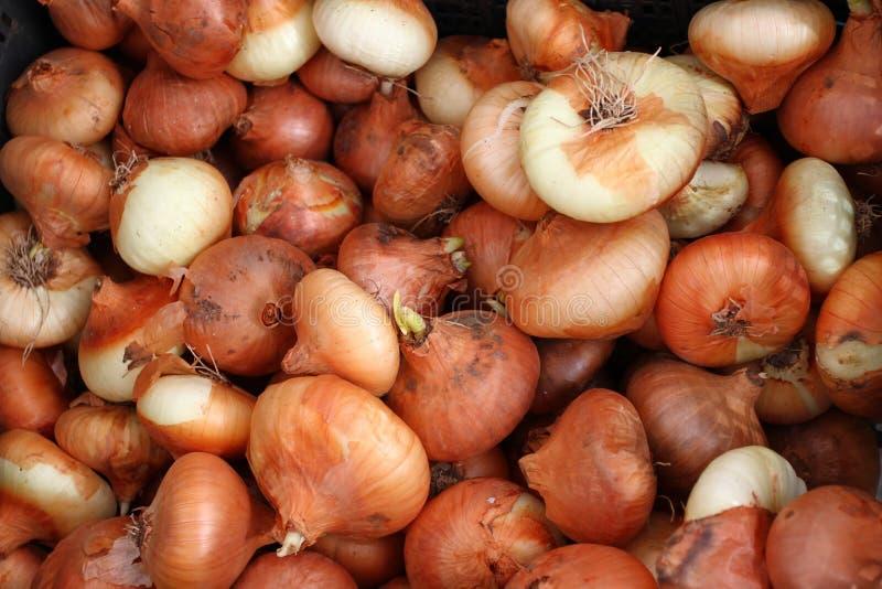 cebola orgânica fresca Textura do fundo das cebolas vermelhas Teste padrão dos vegetais Papel de parede da cebola fotografia de stock