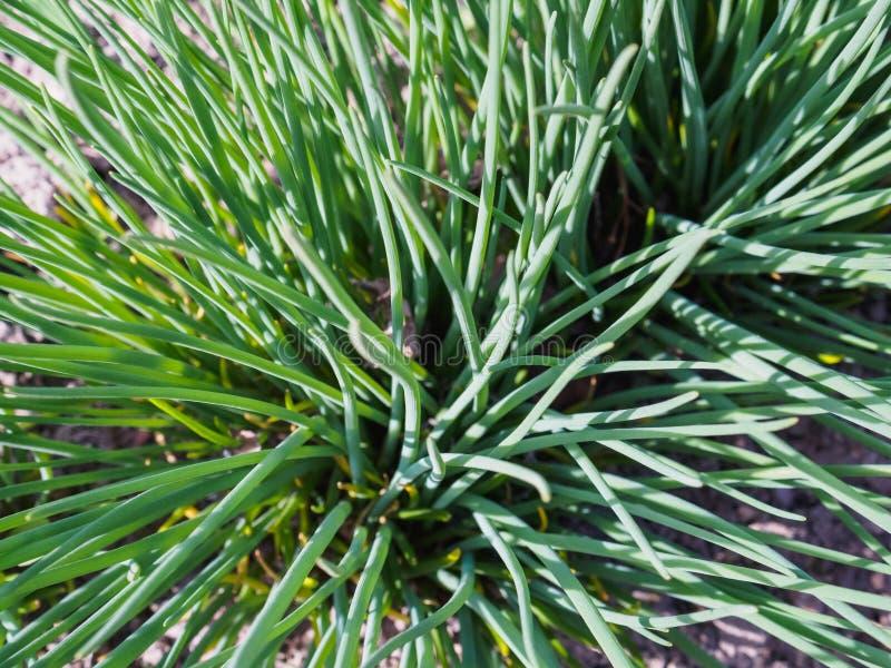 A cebola selvagem cresceu na primavera no jardim imagens de stock