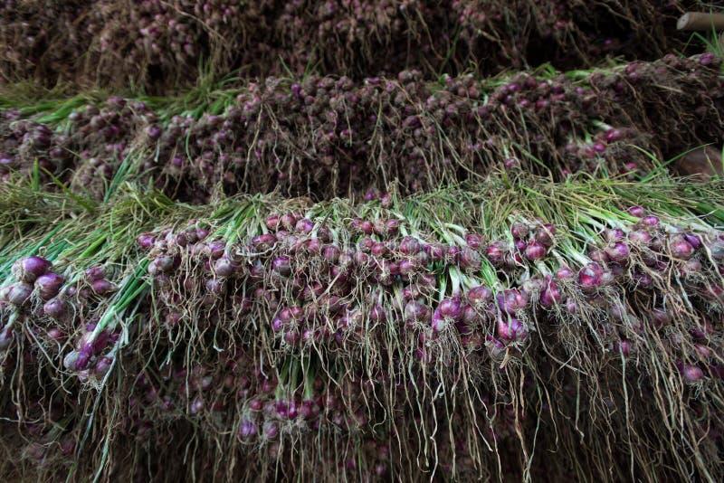 Cebola vermelha das chalotas (ascalonicum do Allium) na exploração agrícola do jardim vegetal foto de stock