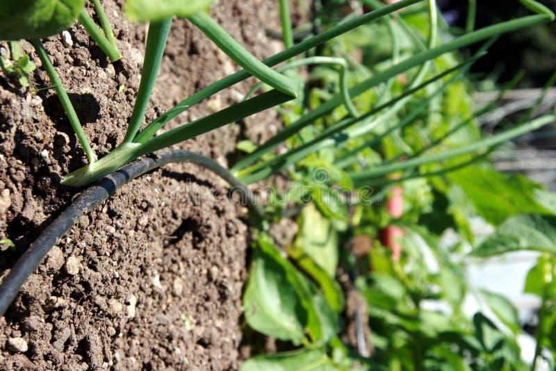 Cebolas e irrigação de gotejamento imagens de stock royalty free