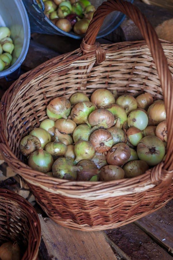 Cebolas na cesta Recolhendo sua secagem da colheita das cebolas Muitos vegetais foto de stock royalty free