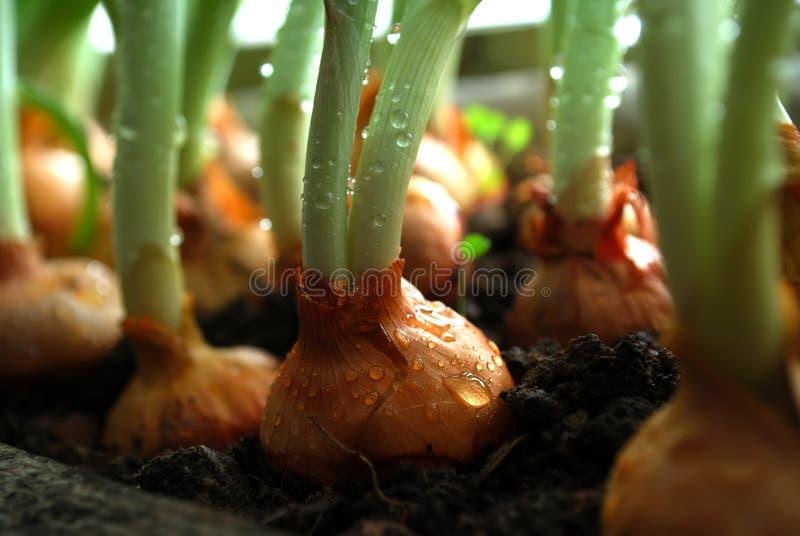Cebolas verdes fotos de stock royalty free