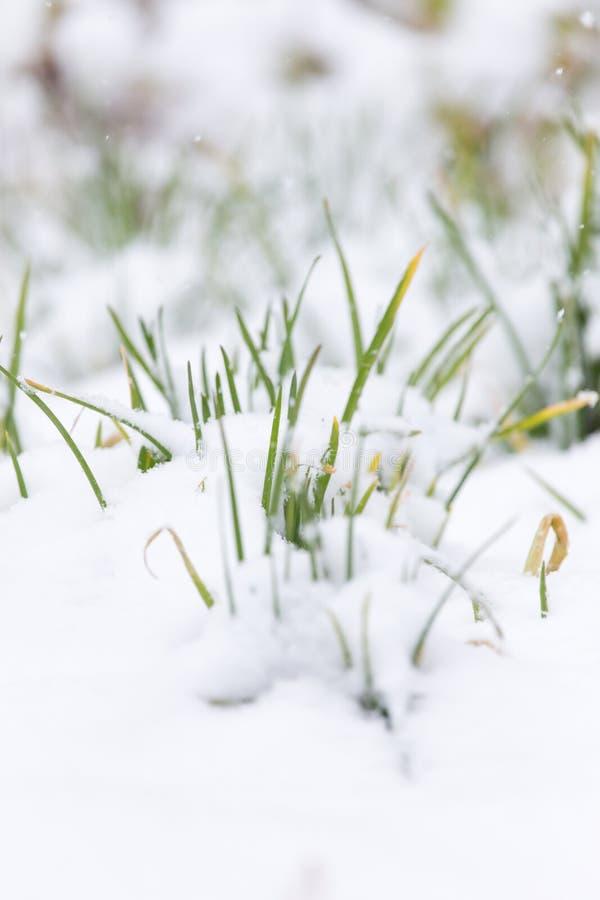 Cebolas verdes na neve foto de stock