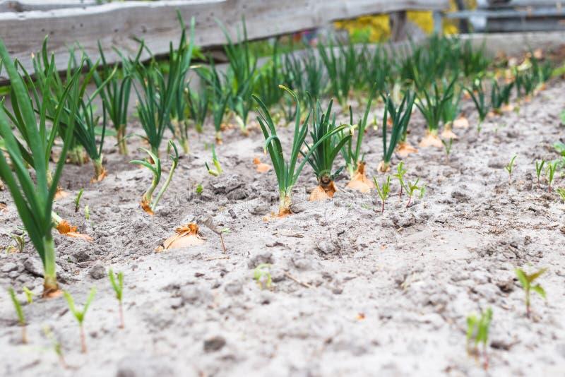 Cebolas verdes novas no solo arenoso imagens de stock