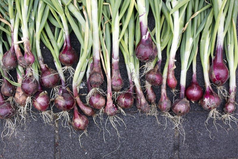 Cebolas vermelhas orgânicas foto de stock royalty free