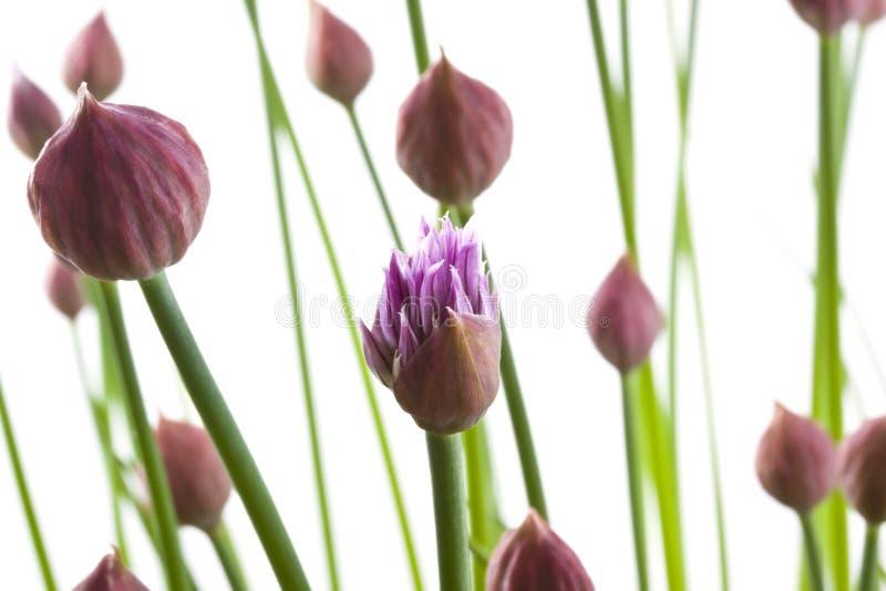 Cebolinhos na flor fotografia de stock royalty free