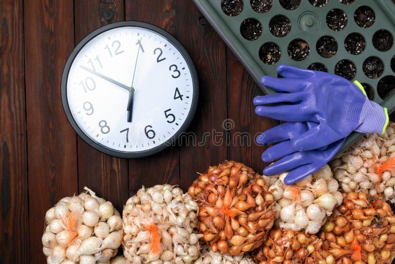 Cebolla amarilla, almácigo, cebollas crecientes en cesta con la bandeja para los almácigos Muchas plantaciones de la cebolla del  fotos de archivo