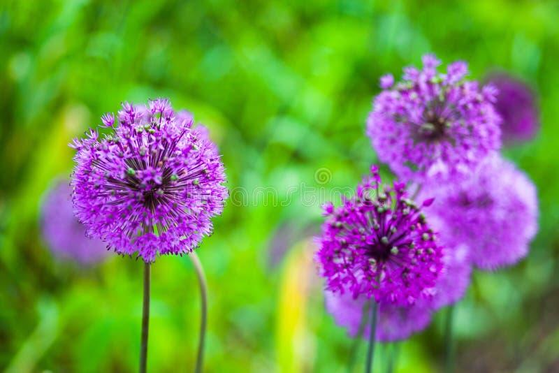 Cebolla ornamental púrpura floreciente y x28; Allium& x29; imagen de archivo