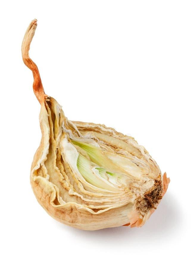 Cebolla putrefacta foto de archivo