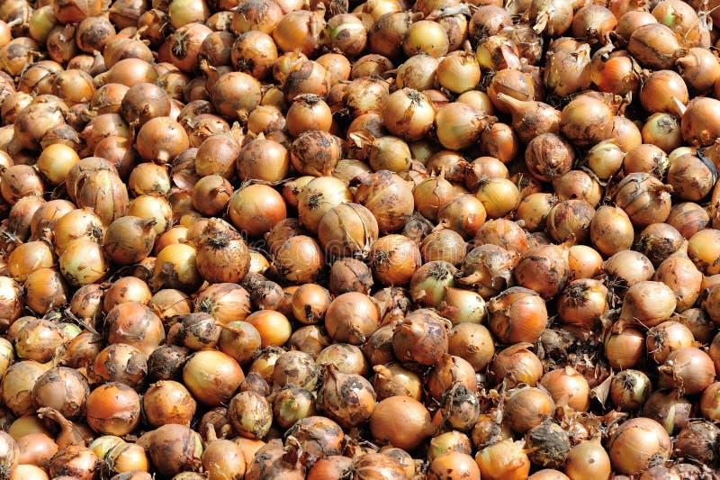 Cebolla roja de la cosecha foto de archivo libre de regalías