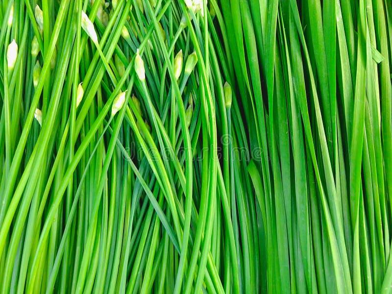 Cebolla verde foto de archivo libre de regalías