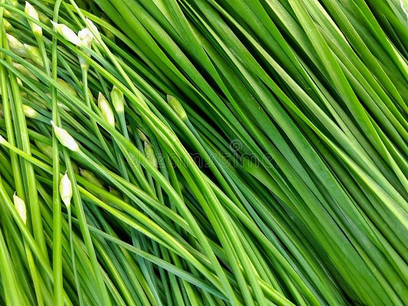 Cebolla verde imágenes de archivo libres de regalías
