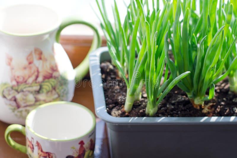 Cebolla verde que crece en la caja en la ventana DIY El concepto de alimento biológico sano NO-OGM fotografía de archivo