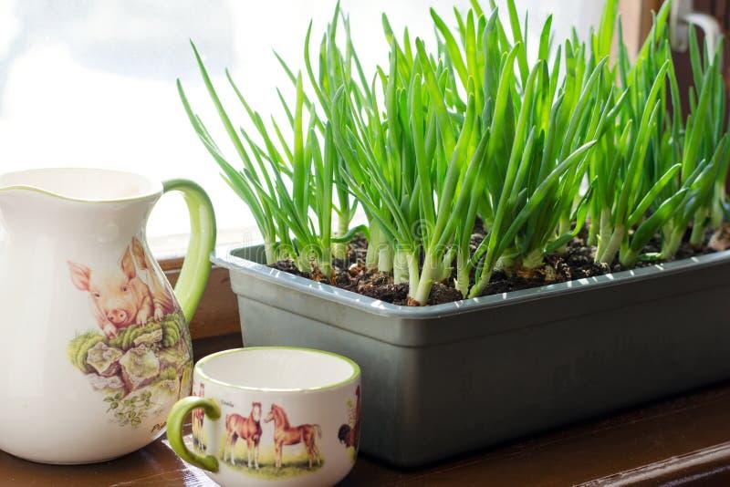 Cebolla verde que crece en la caja en la ventana DIY El concepto de alimento biológico sano NO-OGM fotos de archivo libres de regalías
