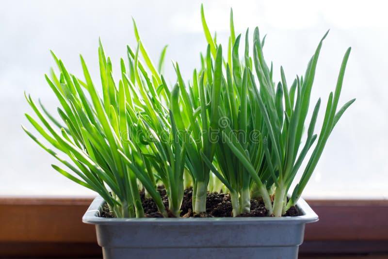 Cebolla verde que crece en la caja en la ventana DIY El concepto de alimento biológico sano NO-OGM foto de archivo libre de regalías