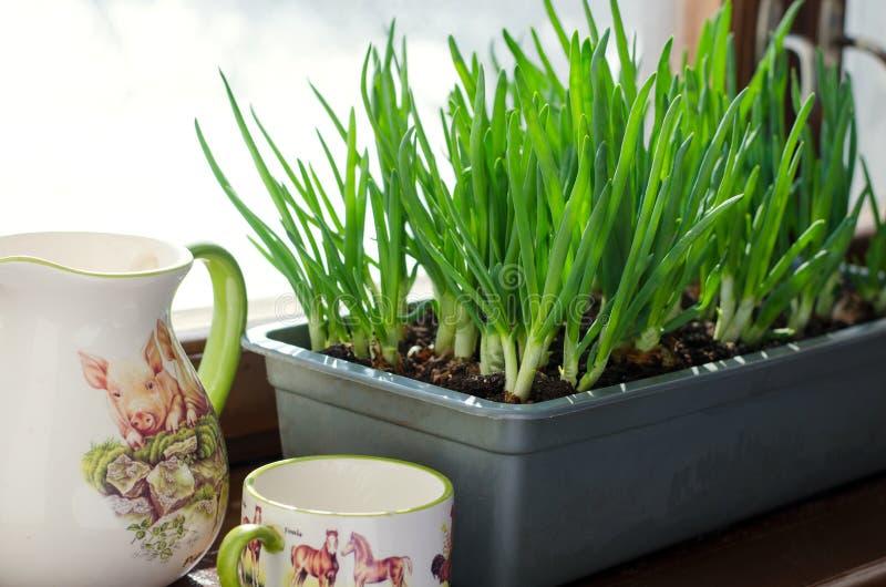 Cebolla verde que crece en la caja en la ventana DIY El concepto de alimento biológico sano NO-OGM foto de archivo
