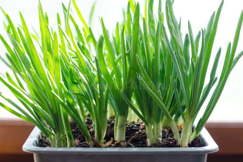 Cebolla verde que crece en la caja en la ventana DIY El concepto de alimento biológico sano NO-OGM imagen de archivo