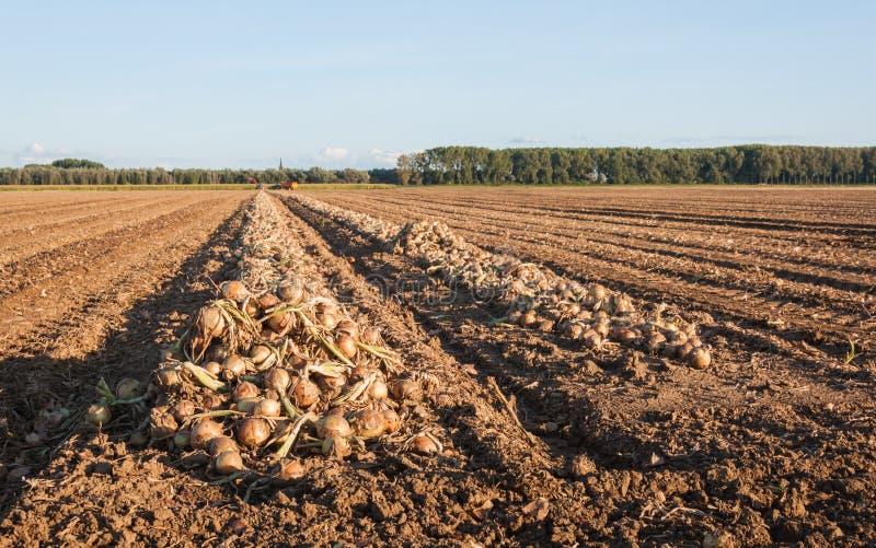 Cebollas cosechadas que se secan en el sol de la tarde imagenes de archivo