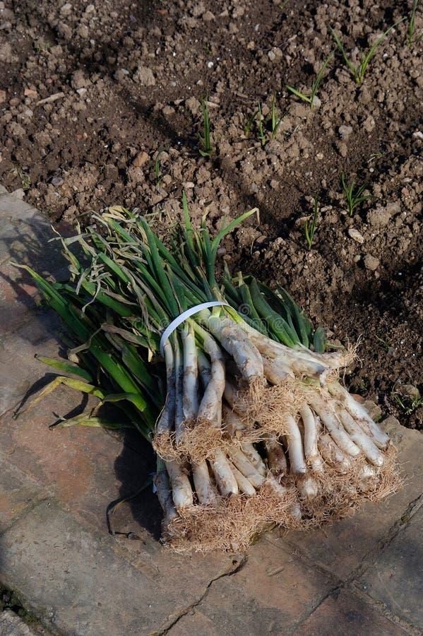 Cebollas de las cebollas de la primavera típicas de Cataluña, España imágenes de archivo libres de regalías