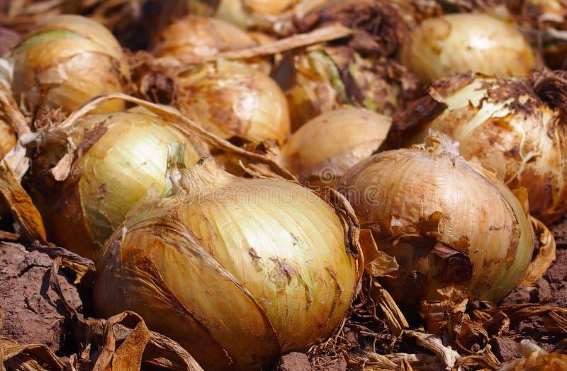 Cebollas grandes y soleadas en el huerto, España imagen de archivo