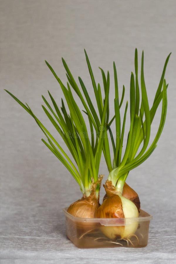 Cebollas verdes brotadas Bulbos con los brotes frescos en fondo gris en la cocina Tiro del estudio Composici?n m?nima foto de archivo