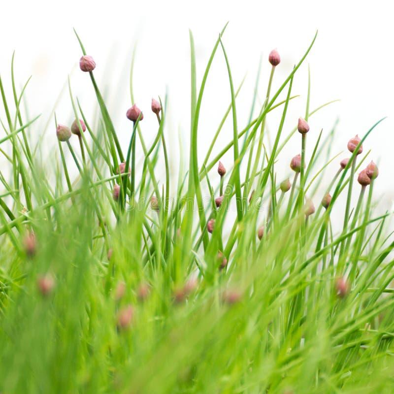 Cebolletas con los flores Comida verde org?nica, el cultivar un huerto y concepto de las hierbas imágenes de archivo libres de regalías