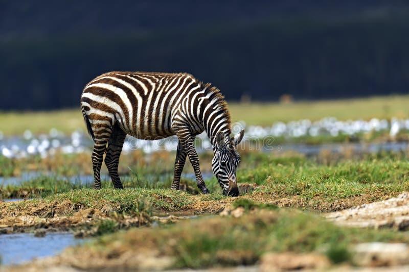Download Cebra foto de archivo. Imagen de africano, animal, habitat - 44851714
