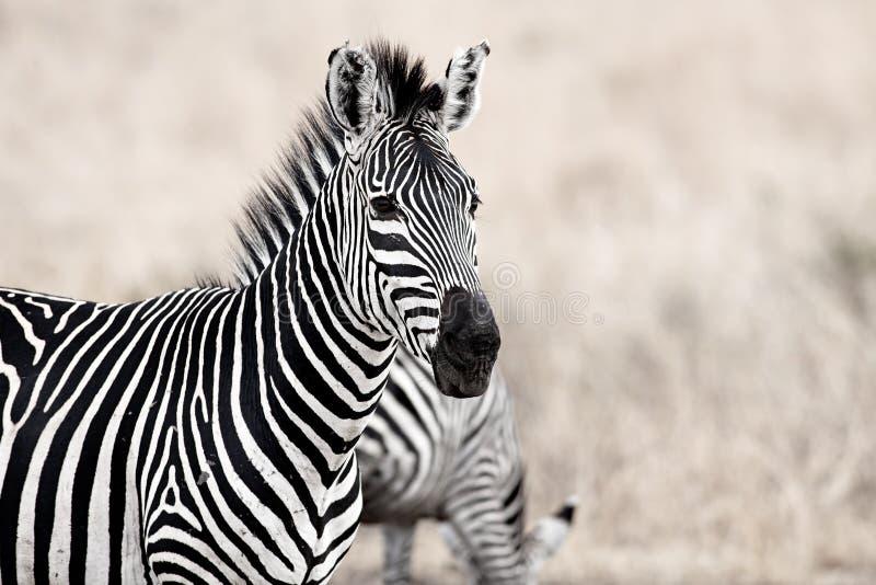 Cebra africana fotos de archivo libres de regalías