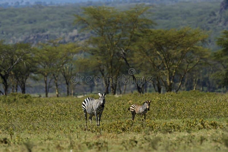 Download Cebra africana imagen de archivo. Imagen de hoofed, mamíferos - 44851663