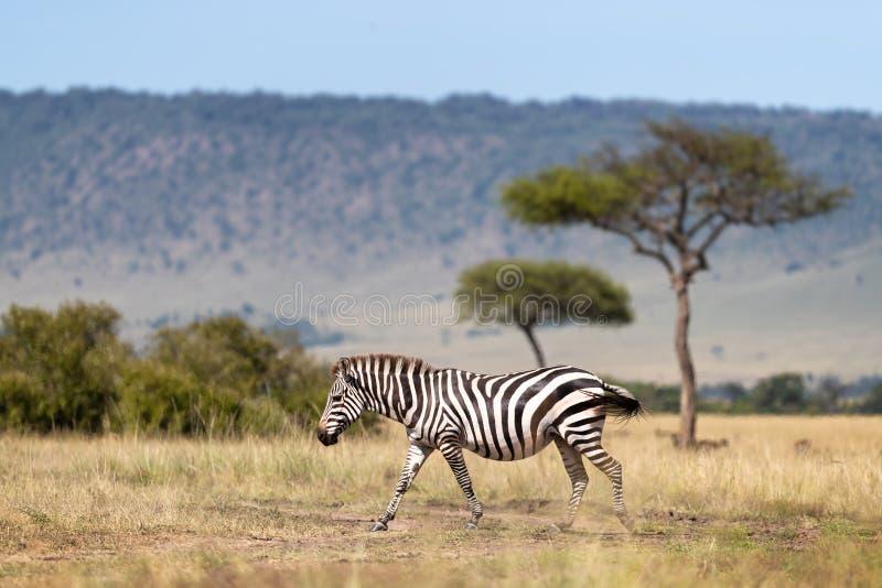 Cebra, caminando más allá de los árboles del acacia y de la escarpa de Oloololo, Masai Mara foto de archivo libre de regalías