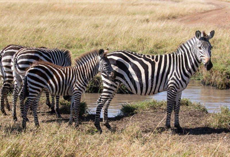 Cebra común, quagga del Equus, situación de la familia al lado del agujero de riego en paisaje africano imágenes de archivo libres de regalías