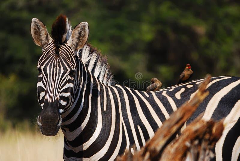 Cebra de Burchell (burchellii del Equus) fotos de archivo libres de regalías